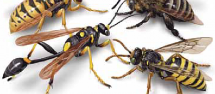 wasps-hornets-and-yellow-jackets